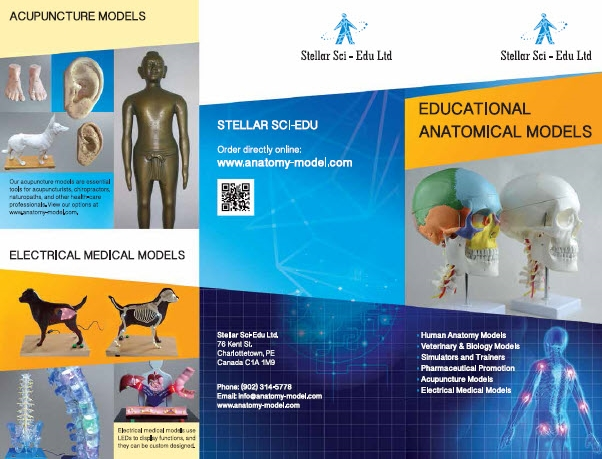 Anatomy Models, Anatomical Models, High-quality at