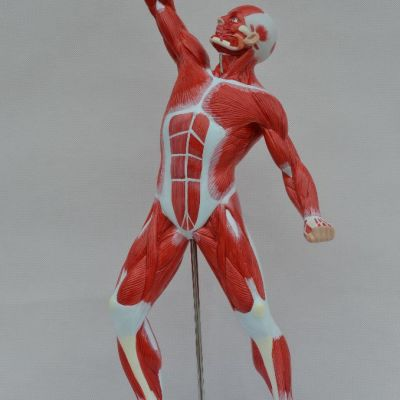 Anatomy Model Products - Human Anatomical Models, Pharma Models ...